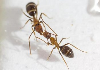 To communicate, some ants swap spit