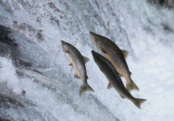 Salmon swim better when they're happy