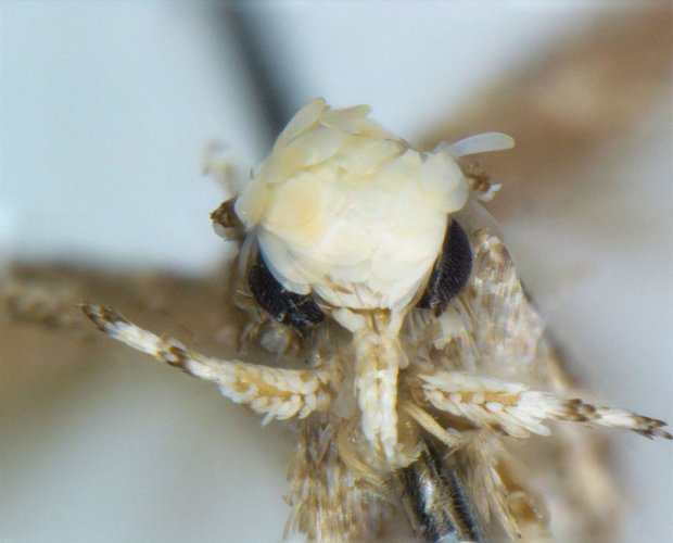 New moth species named for Donald Trumps hair