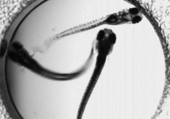 Zebrafish models may hold key to epilepsy drugs