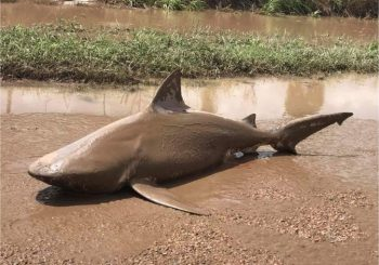 Bull shark washed up on land after Australian cyclone