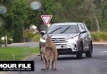Mating kangaroos block traffic in Australian suburb