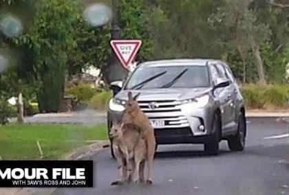Mating kangaroos block traffic in Australian suburb