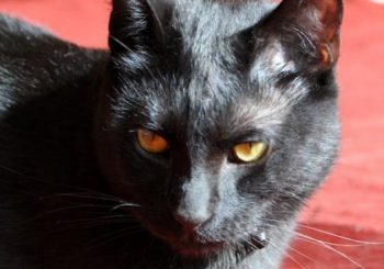 Australian rescue seeks home for 'despot and dictator' cat