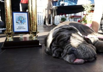 Floppy-faced Neapolitan Mastiff named 'World's Ugliest Dog'