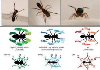 To avoid getting eaten, spiders walk like ants