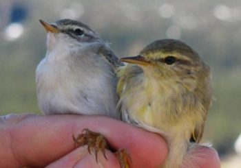 Birds' migration genes are altered by geography