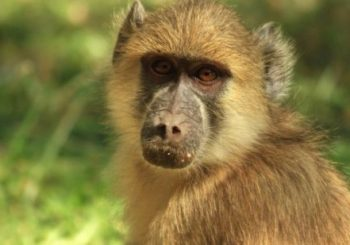 Zambia baboon causes power cut in Livingstone