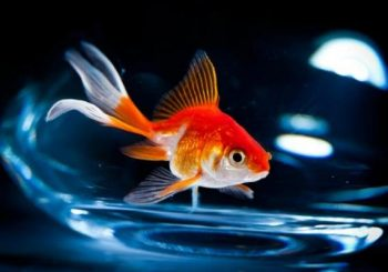Alcohol helps goldfish make through the winter without oxygen