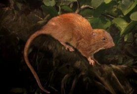 Giant rat discovered in Solomon Islands