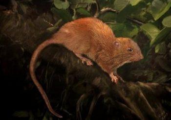 Giant rat discovered in Solomon Islands