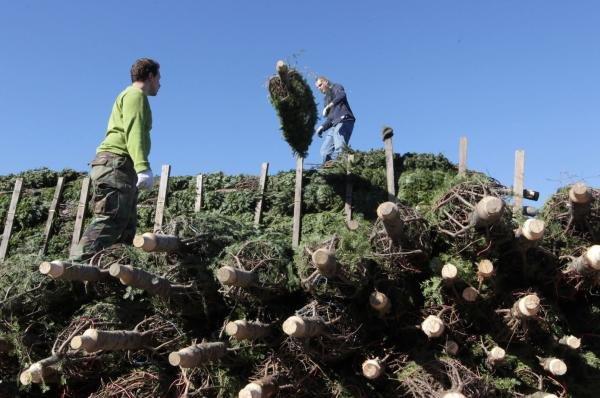 U.S. Christmas tree shortage may drive up prices