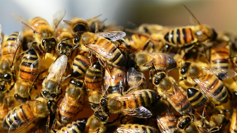 A bunch of bees are pictured in this file photo